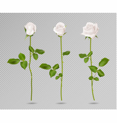 realistic white rose set three 3d roses on vector image vector image