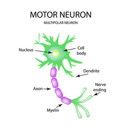 the structure of the motor neuron infographics on vector image