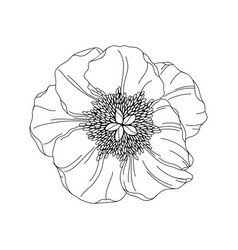 peony flower bud modern botanical drawing for vector image