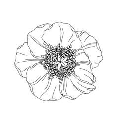 peony flower bud modern botanical drawing vector image