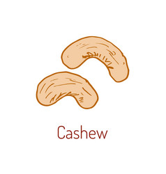 cashew nut hand drawn vector image