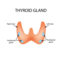 anatomical structure of the thyroid and vector image