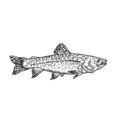 Salmon fish sketch vector