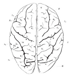 View of brain from above vintage vector