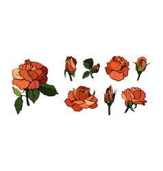 Elements set of orange roses vector