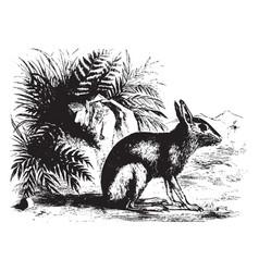 patagonian cavy vintage vector image