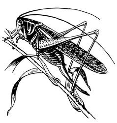 Tettigoniidae vector