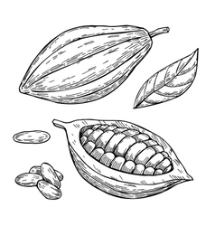 Cocoa superfood drawing set Isolated hand vector