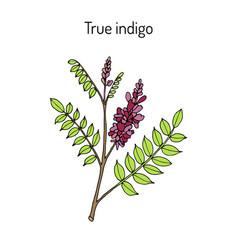 True indigo indigofera tinctoria medicinal plant vector