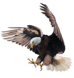 Bald eagle landing swoop attack hand draw paint vector