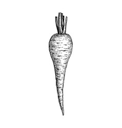Ink sketch parsnip vector