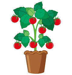 isolated tomato plant in pot vector image