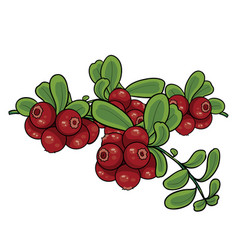 cranberry bush isolated object on a white vector image