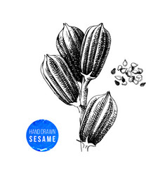 hand drawn sesame plant and seeds vector image