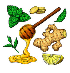 honey ginger lemon and mint drawing vector image