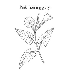 Pink morning glory ipomoea carnea medicinal vector
