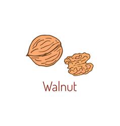 walnut hand drawn vector image