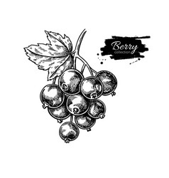 black currant drawing isolated berry vector image