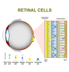 Photoreceptor cells vector image vector image
