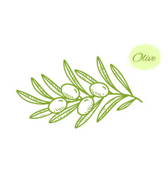 green isolated hand drawn olive branch with leaves vector image