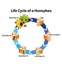 Diagram showing life cycle honeybee vector