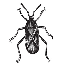 Squash Bug vintage engraving vector image