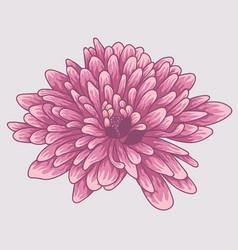 brignt violet colored chrysanthemum vector image