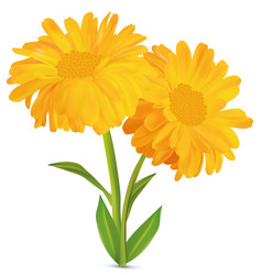 3d realistic calendula with green leaf on white vector
