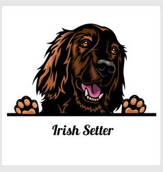 Color dog head irish setter breed on white vector