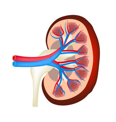 the anatomical structure of kidney on isolated vector image