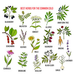 best herbs for common cold vector image