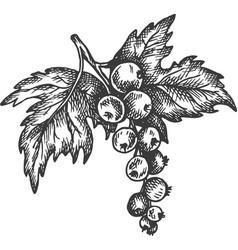 Black currant hand drawn sketch fruit vector