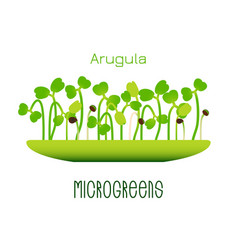 Microgreens arugula sprouts in a bowl sprouting vector