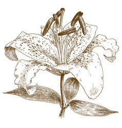 engraving of lily vector image