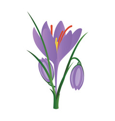 purple crocus flowers on white background vector image