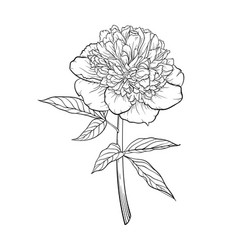 Beautiful monochrome black and white peony vector