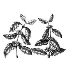 hand sketched coffee plants with beans leaves and vector image