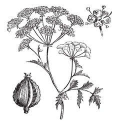 Hemlock vintage engraving vector image