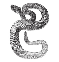 South American Rattlesnake engraving vector image vector image
