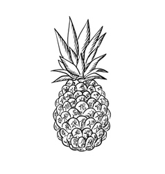 Pineapple fruit with fresh leaves in sketch style vector image