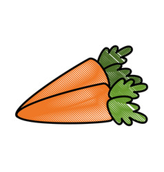 isolated two carrot vegetable vector image