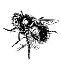 Echinomyia vector