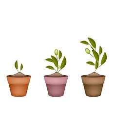 Three Olives Tree in Ceramic Flower Pots vector