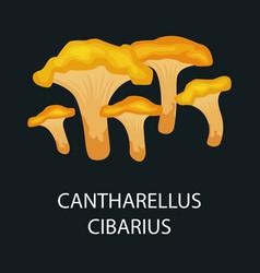 Yellow chanterelle or cantharellus cibarius vector