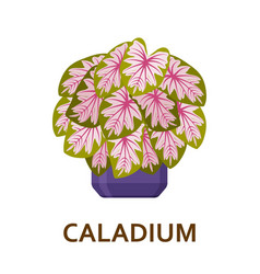 Caladium decorative houseplant in pot florist vector