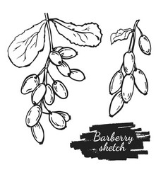 drawing barberry vector image
