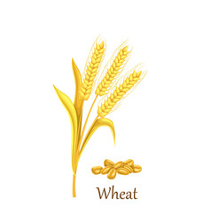 wheat grass cereal crops vector image