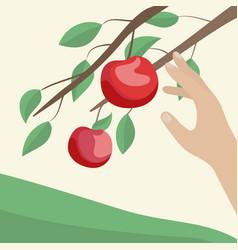 Hands are picking apples in garden vector