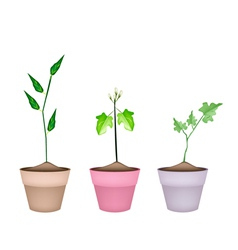Three green eggplant tree in ceramic pots vector