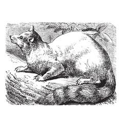 Ringtail vintage engraving vector image